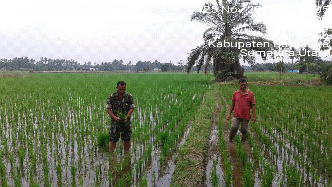 Sukseskan Swasembada Pangan Babinsa Koramil 02 Air Putih Dampingi Petani Dalam Peyisipan Tanaman Padi Media Abpedsi